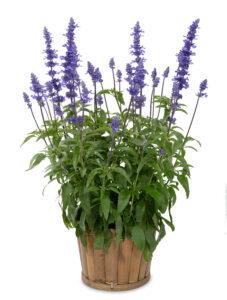 Salvia Sallyfun Blue Emotion