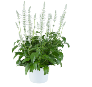 Salvia farinacea Sallyfun Pure White