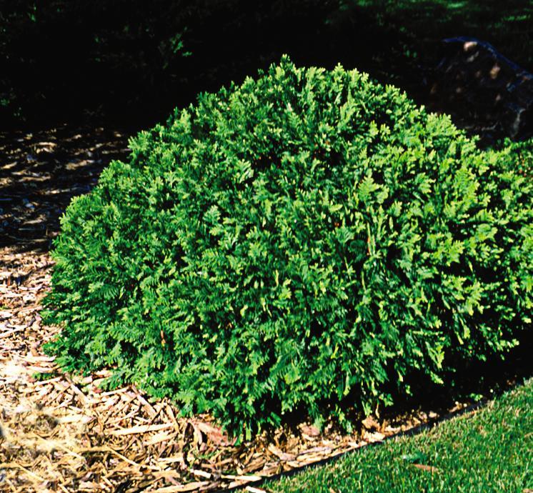 Arborvitae Woodward Globe