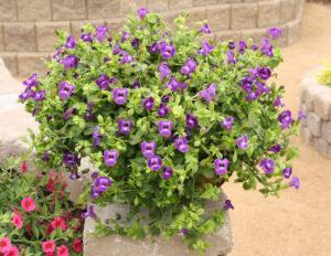 Torenia Summer Wave Large Violet