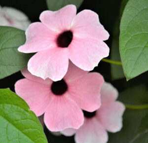 Thunbergia Sunny-Susy Pink Beauty