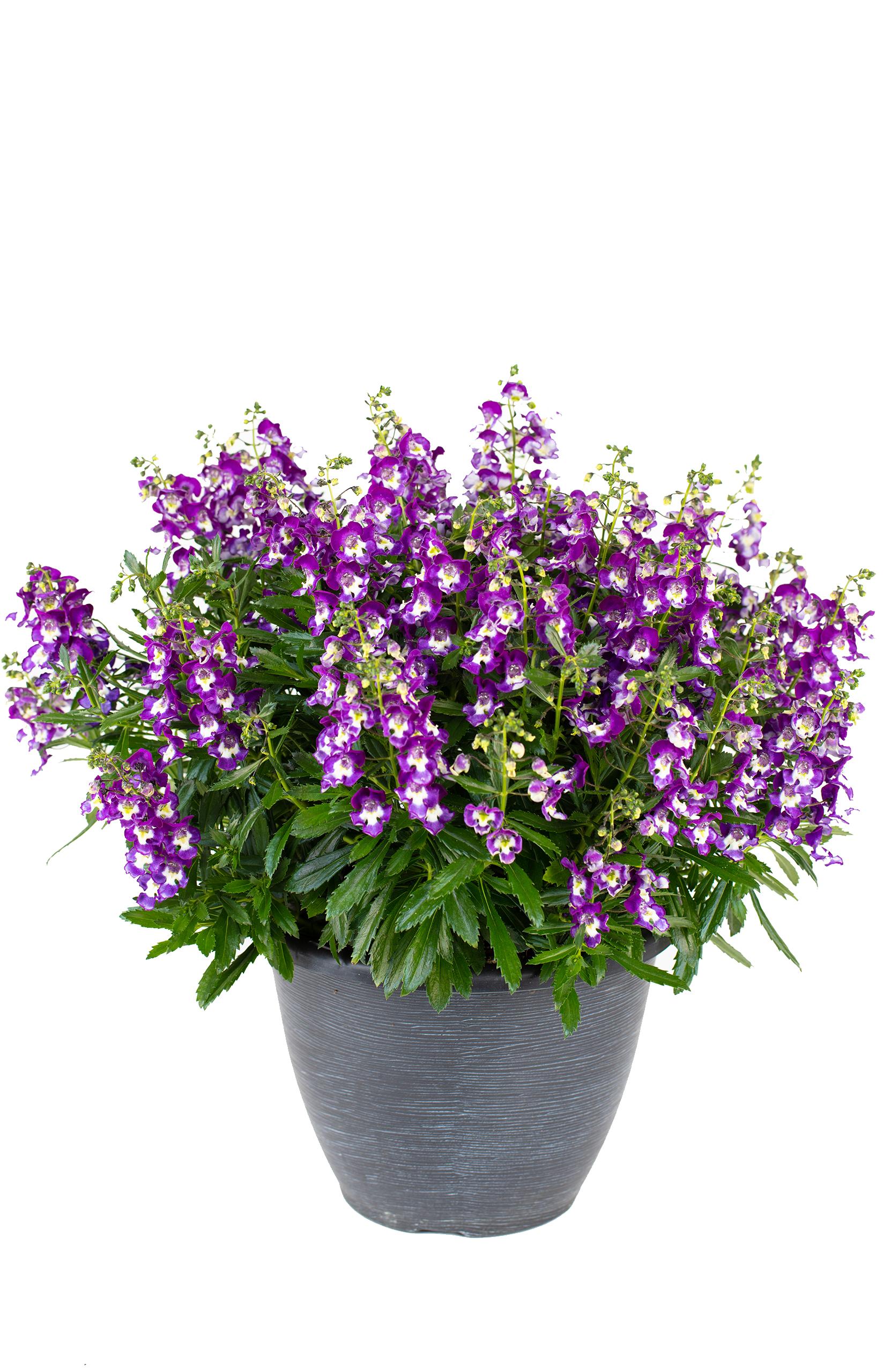 Angelonia Serafina Violet