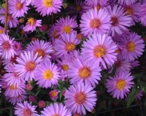 Aster dumosus 'Wood's Purple'