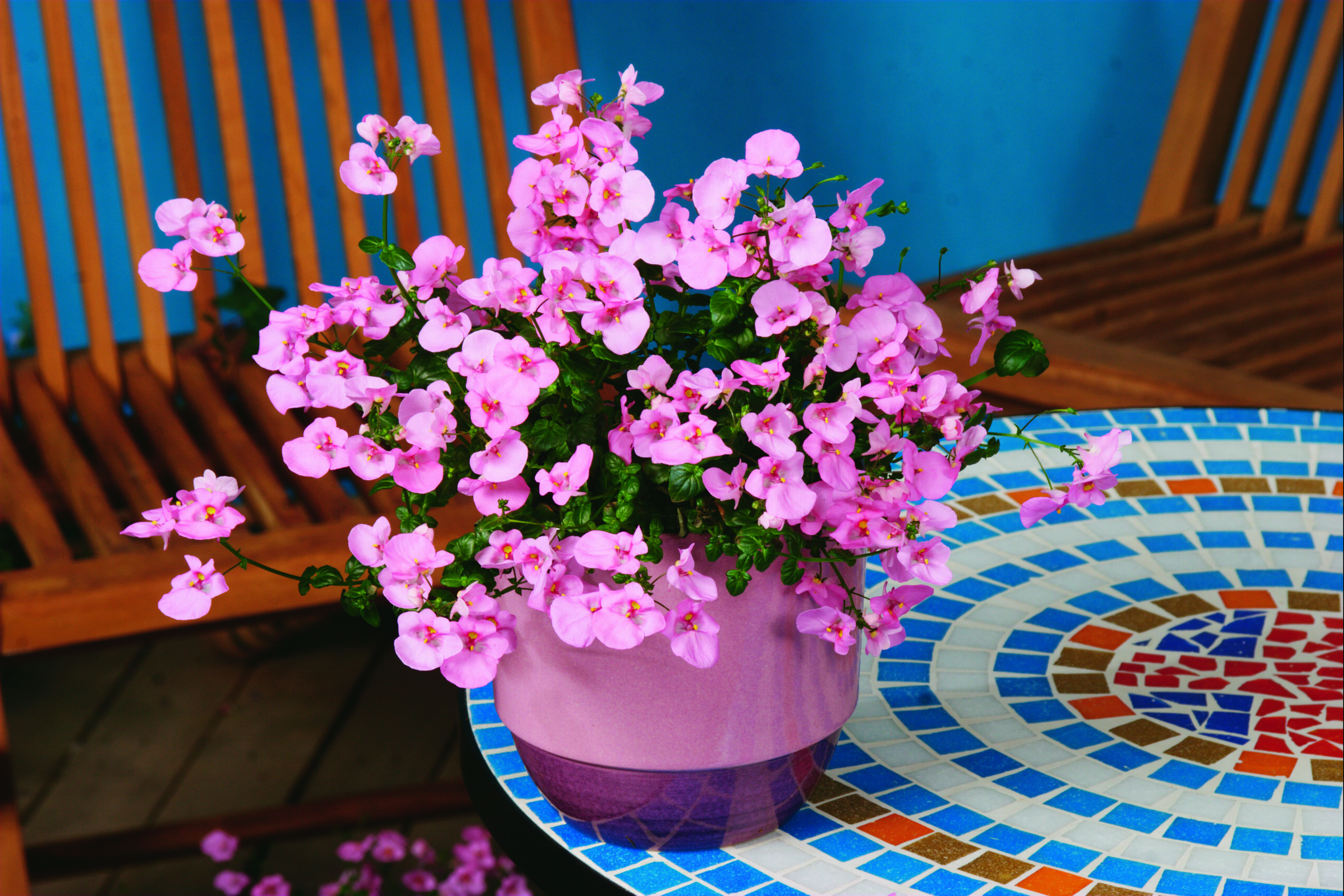 Diascia Darla Light Pink
