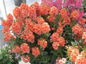 Diascia Sundiascia Upright Peach