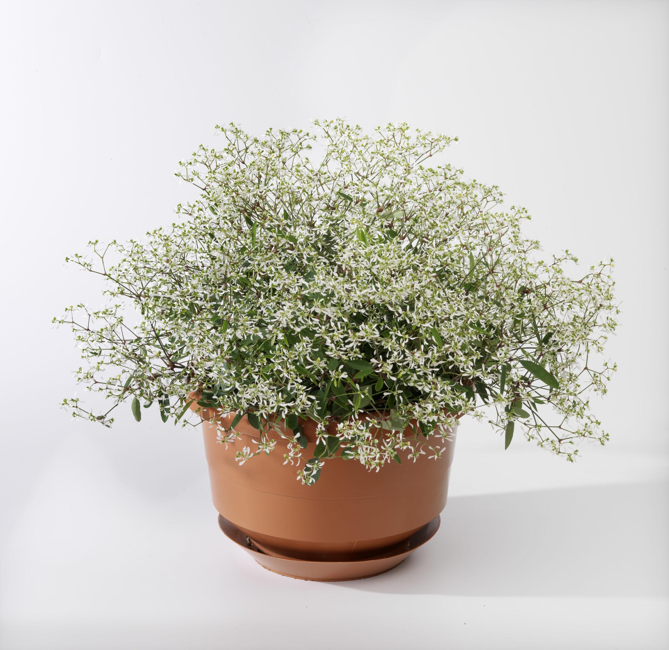 Euphorbia Euphoric White