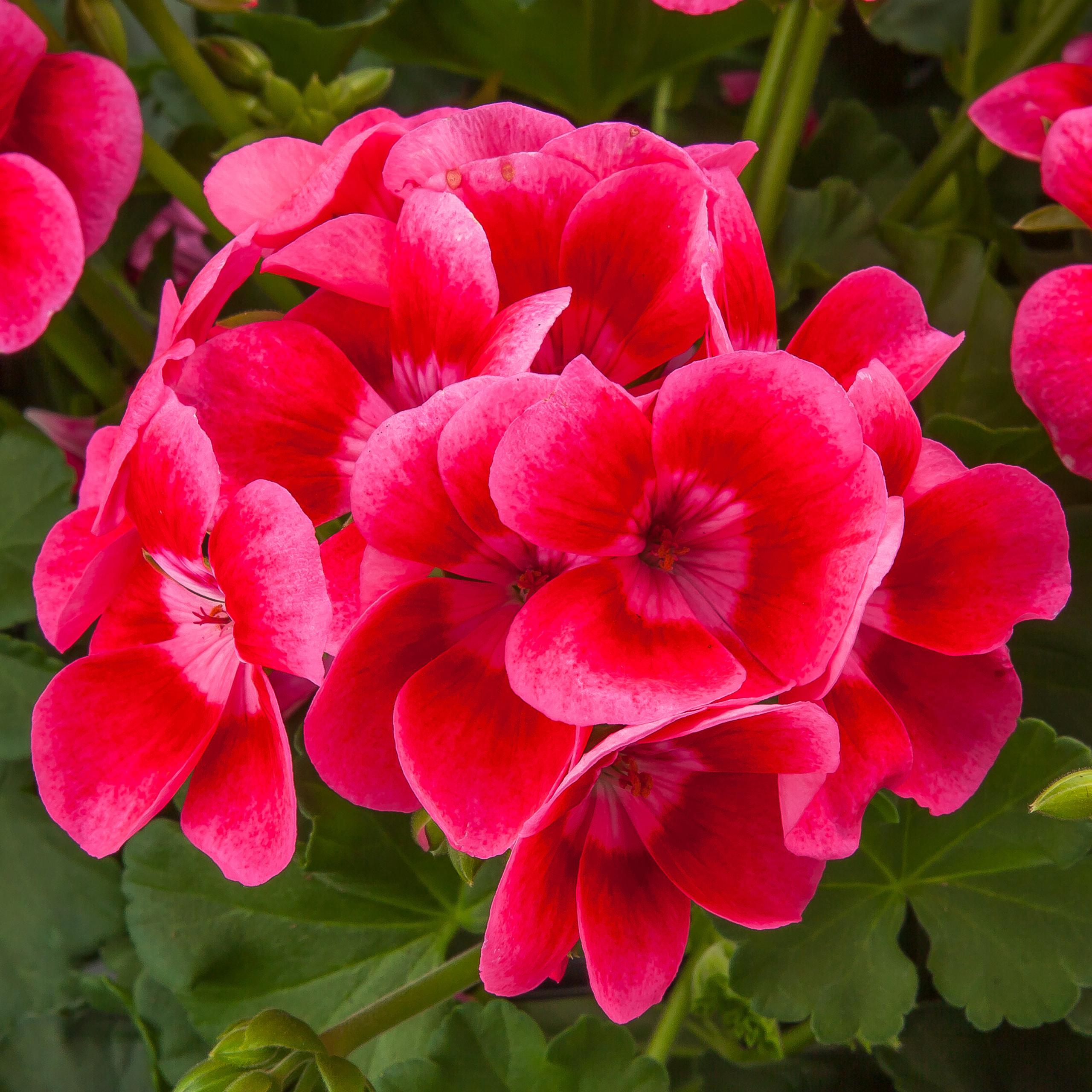 Geranium Interspecific Pretty Little Pink Splash
