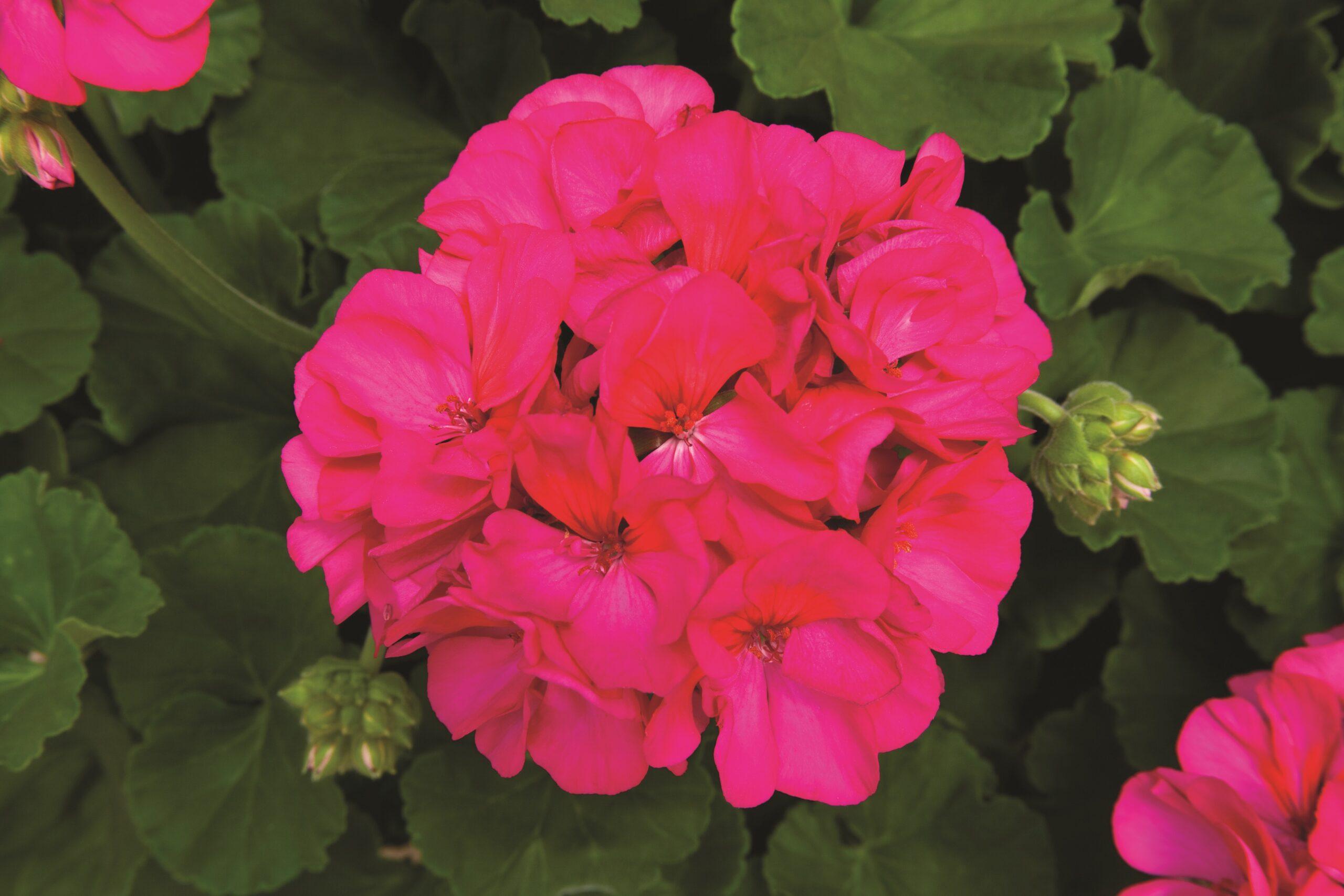 Geranium - Zonal Rocky Mountain Violet
