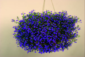 Lobelia Techno Dark Blue