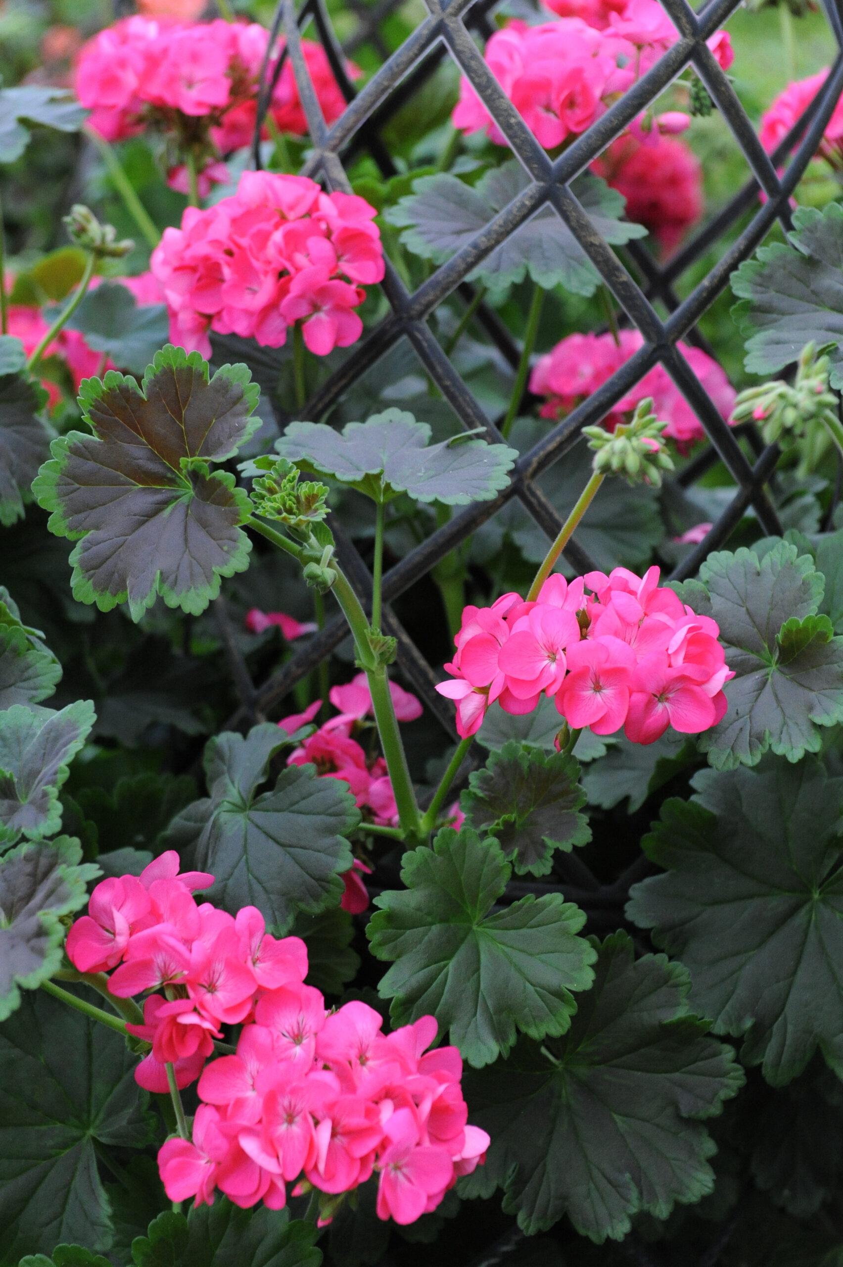 Geranium - Specialty, Tall, Dark, & Handsome Hot Pink