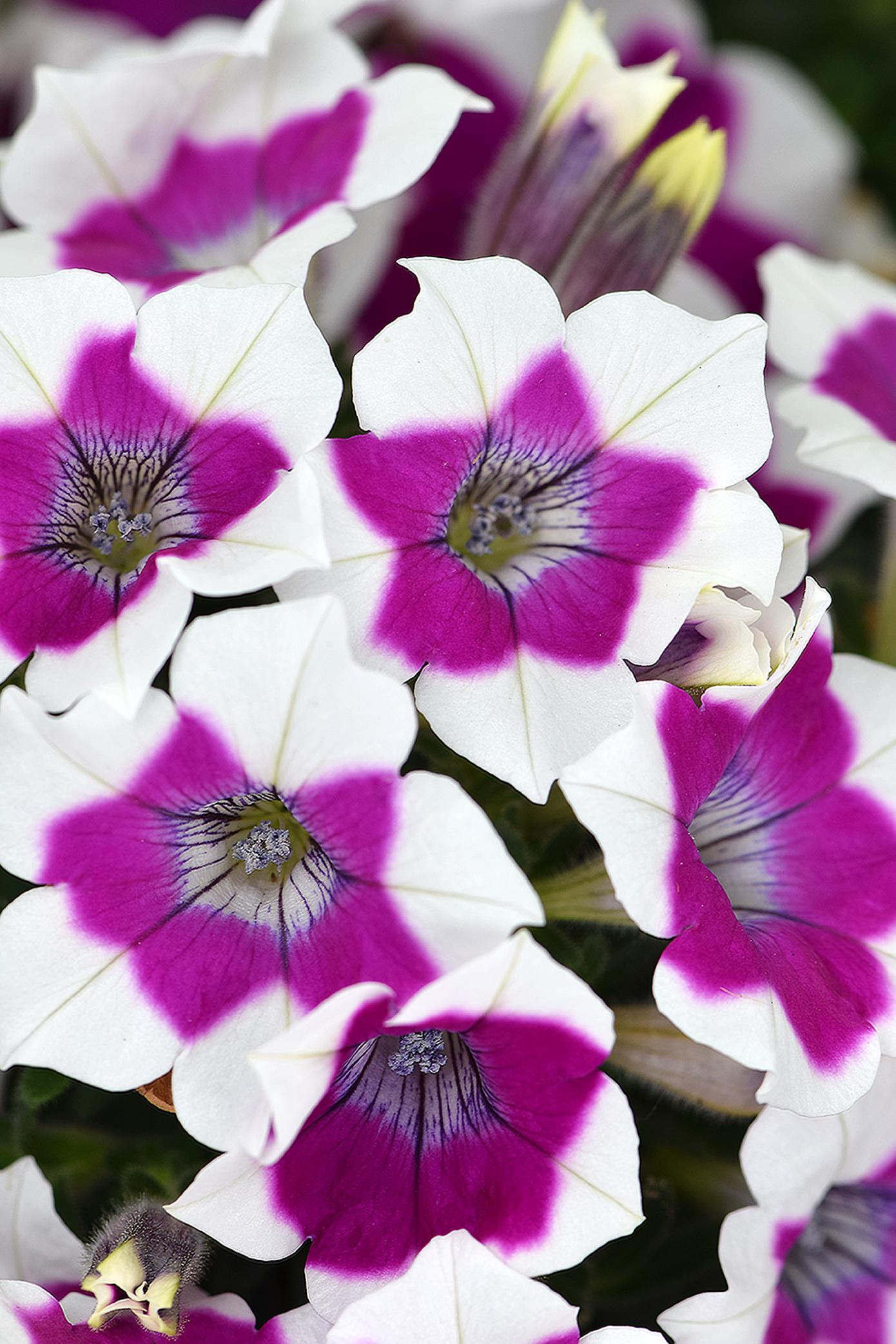 Petunia ZOOM Purple
