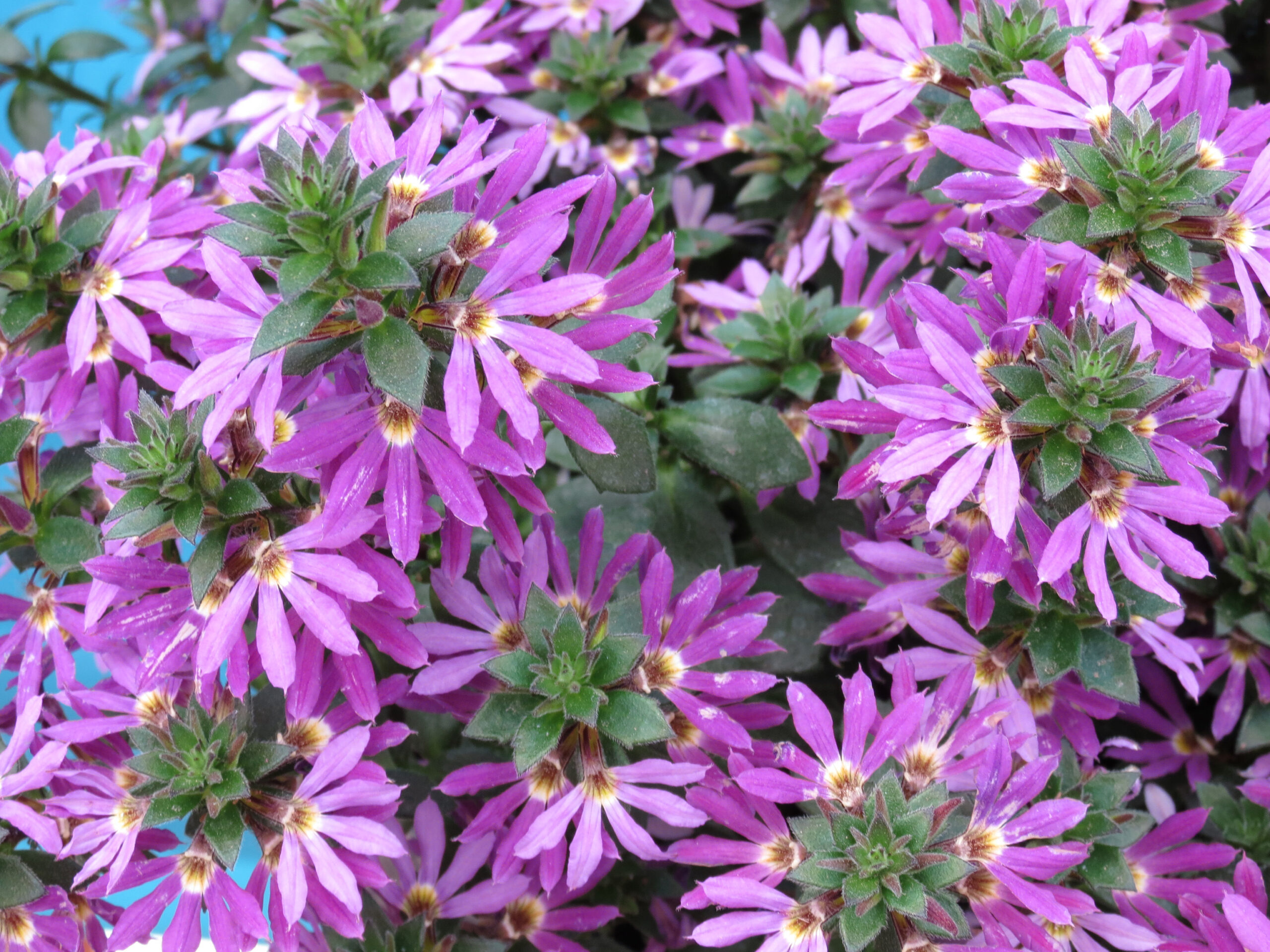Scaevola Surdiva Purple