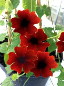 Thunbergia Sunny-Susy Brownie