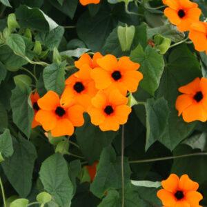 Thunbergia Sunny-Susy Red Orange