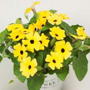 Thunbergia Sunny-Susy Yellow Dark Eye
