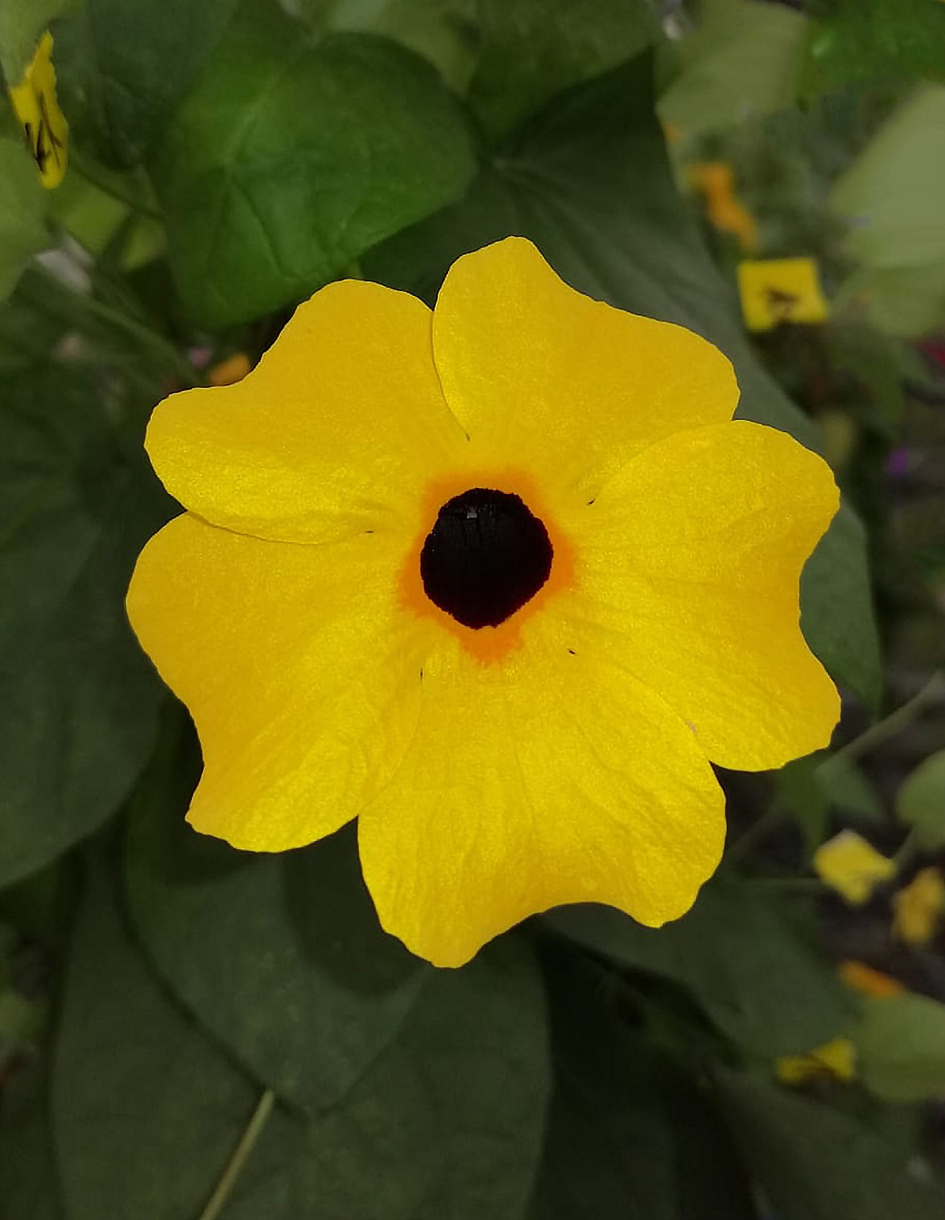Thunbergia TowerPower Gold
