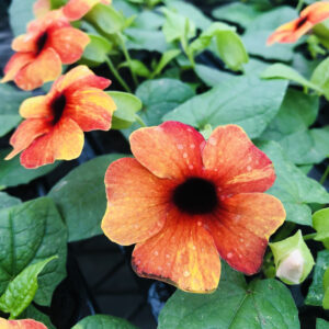 Thunbergia Towerpower Red