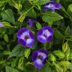 Torenia Summer Wave Bouquet Blue