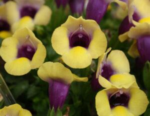 Torenia Summer Wave Bouquet Gold