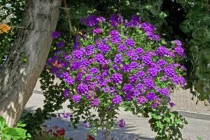 Verbena Lanai Blue