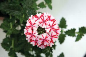 Verbena Lanai Candy Cane
