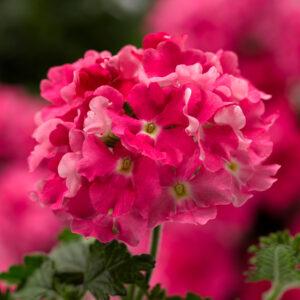 Verbena Lanai Compact Candy Pink