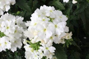 Verbena Lanai Compact White