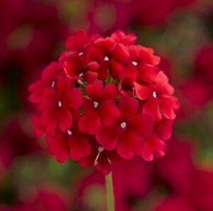 Verbena Lanai Early Dark Red