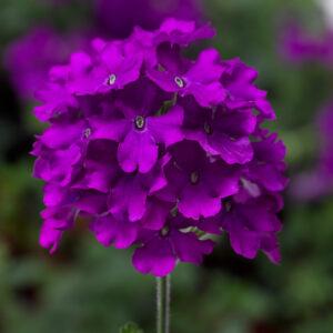 Verbena Lanai Purple