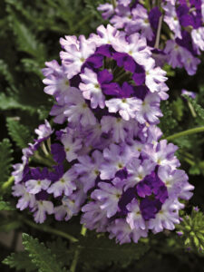 Verbena Lanai Twister Purple