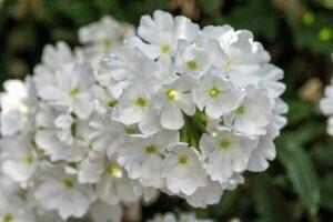 Verbena Lanai White