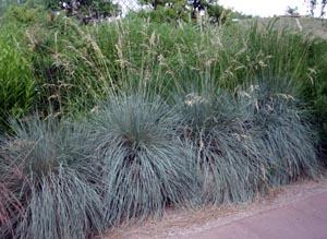 Blue Oats Grass